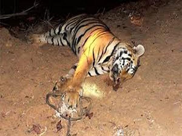 tiger_6