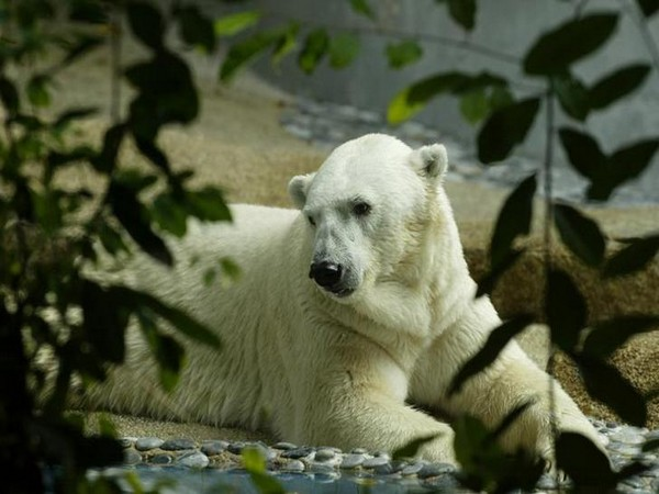 Tributes Pour in for World's First Tropic-born Polar Bear